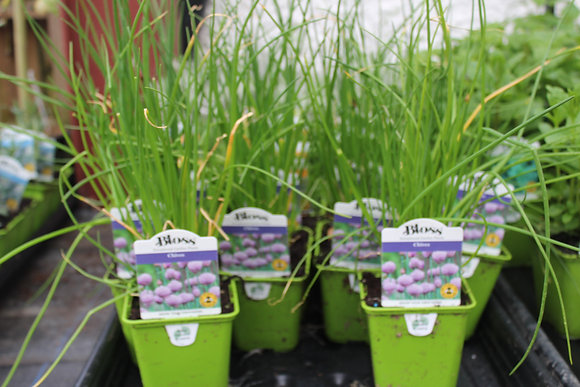 Chives | 1 Plant