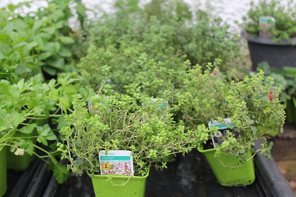 Thyme | 1 Plant