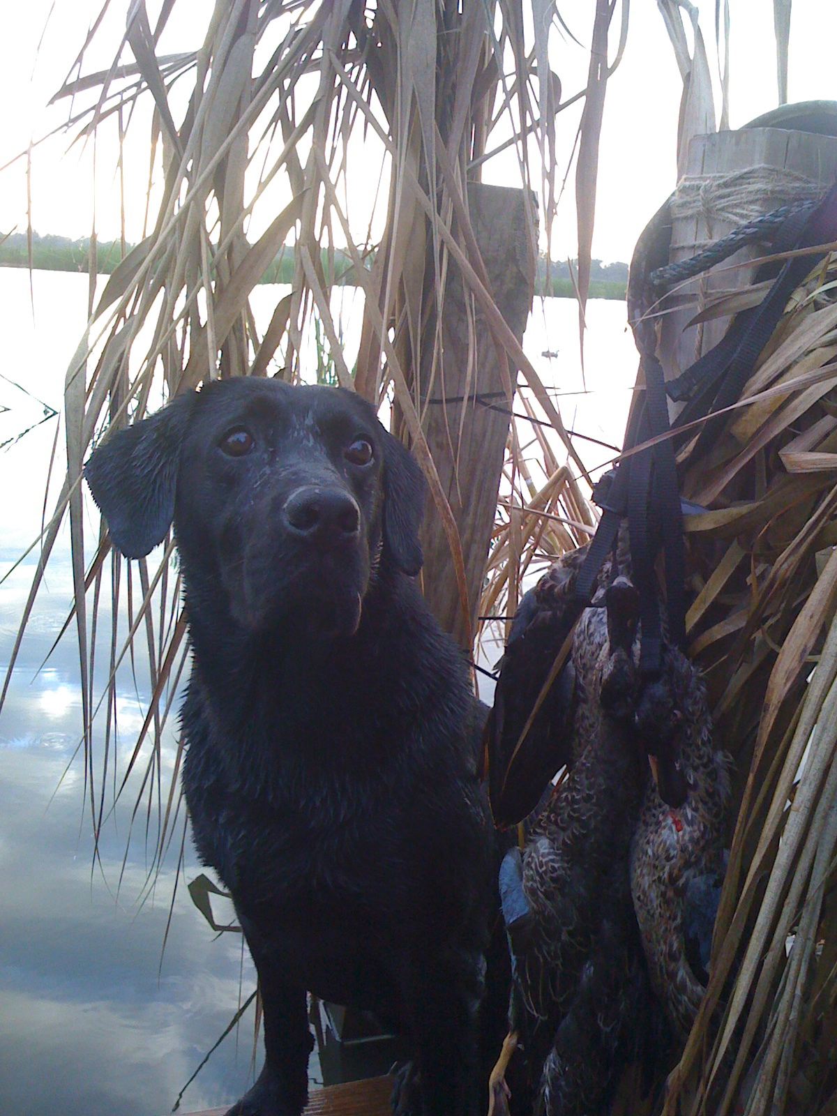 Gun Dog Retrieving Ducks