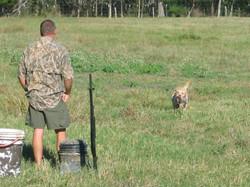 Gun Dog retrieving duck, field trial