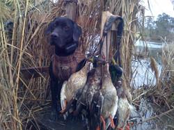 Gun Dog, Ducks with Dog, Field Trial