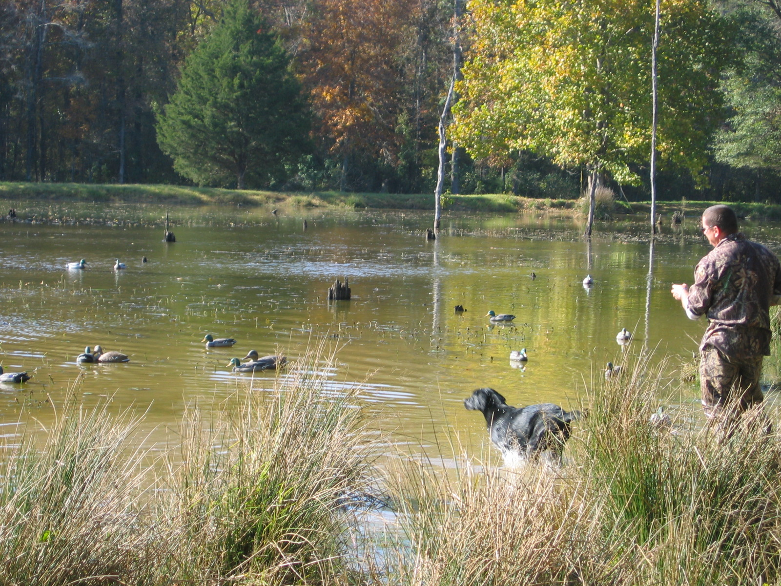 Black Lab, Gun Dog, Hunting Dog