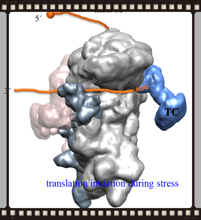 ribosome_edited.png