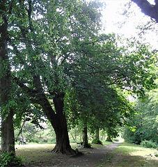 Victoria Tree Plaque Coronation Tree Haddington East Lothian