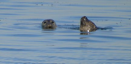 Seals @ play in Firth of Forth