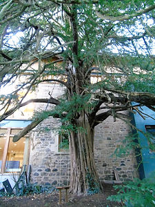 Robert Louis Stevenson Swing and Yew Tree
