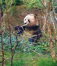 The famous Panda of Edinburgh Zoo