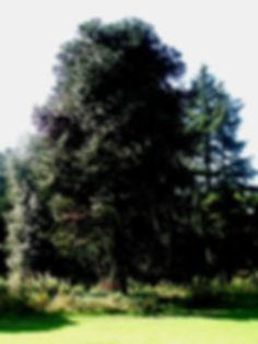 CAMMO TREE PLANTED 1854 EDINBURGH