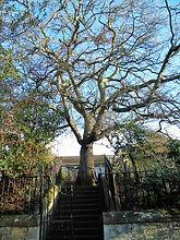 John knox Tree Where house once stood Giffordgate East Lothian