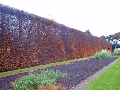Old Beech Hedge Botanic Gardens Edinburg