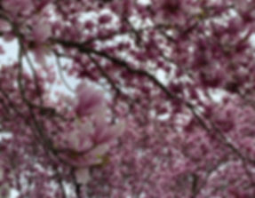 Bridget's pic of cherry blossoms.jpeg