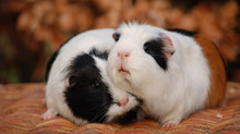 Introducing Two Guinea Pigs