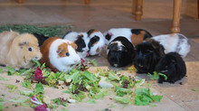 Guinea Pig Diet- the Good, the Bad, and the Ugly