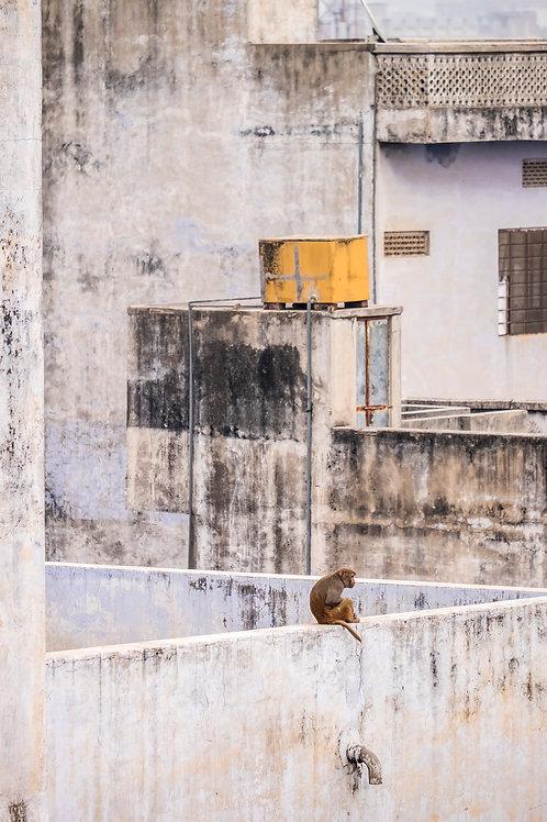 Lone chimp