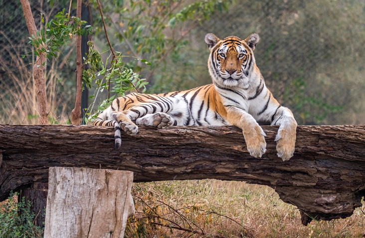 Tiger, tiger