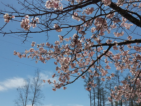横谷観音展望台の桜が満開です