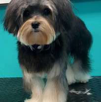 Mason #morkie_ new to spaw!