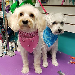 Layla and Bear #schnoodle.jpg