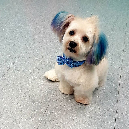 #teddygrahamslam #theboss #havanese #dog