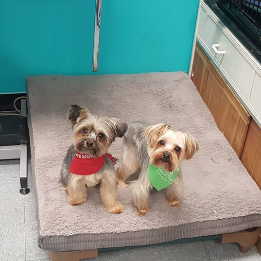 Boscoe and Bailey #yorkshireterrier #bro