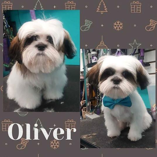 Oliver #shihtzu #puppyfirstgroom #shihtz