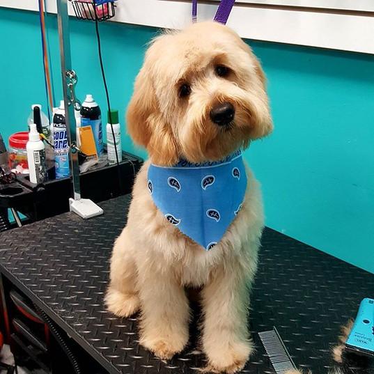 Bentley #minigoldendoodle #puppyfirstgro