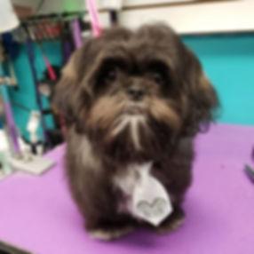 Welcome to spaw Jake #shihtzu #puppyfirs