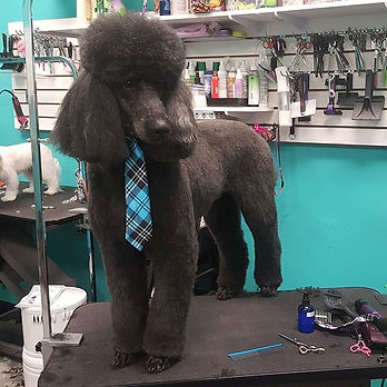 Welcome gorgeous Tahoe!! #standardpoodle