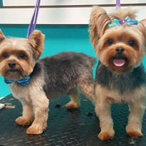 Harley and baylee #yorkshireterrier #yor