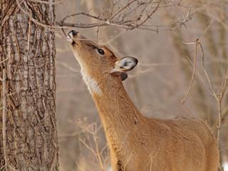 Brookfield, Bethel, CT -  Deer Spray Winter Tick Repellent Service - DeerPro