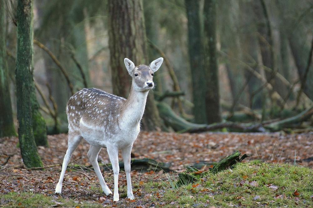 fallow-deer-614725_1280.jpg