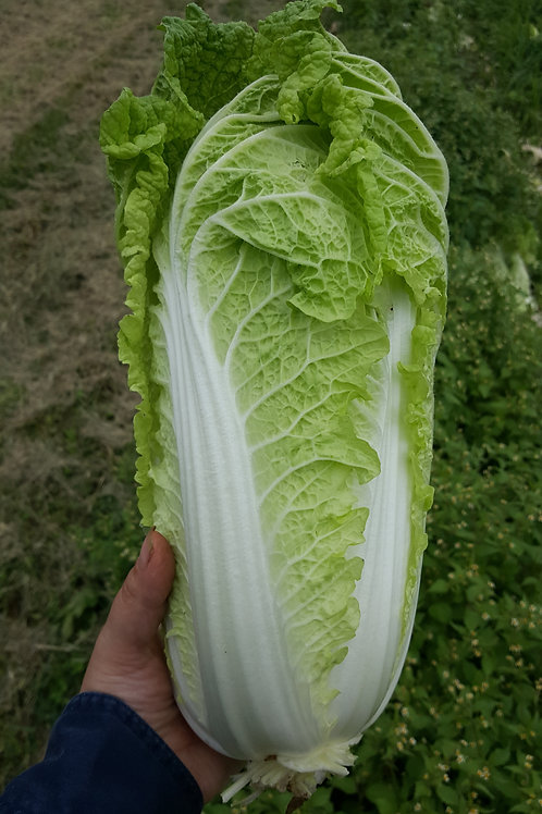 Napa Cabbage by the Head