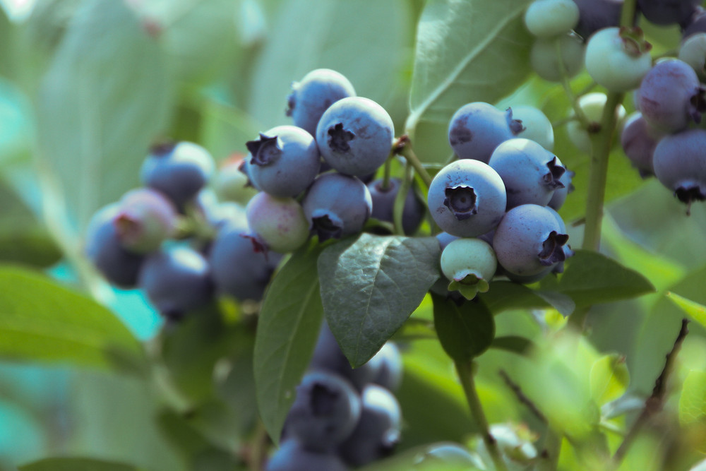 A branch of blueberries. Most are ripe and dark blue, while others have a lavender tint to them because they are underripe. End photo ID.
