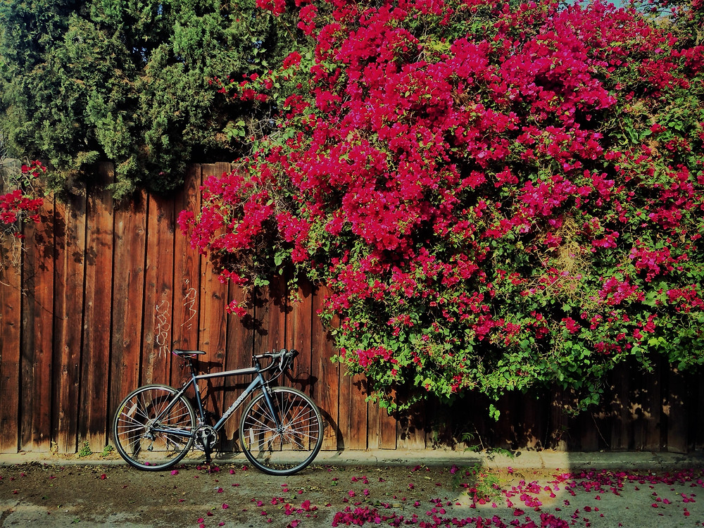 My bike and a bougainvillea on my commute.