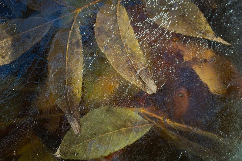 Leaves in Ice.jpeg