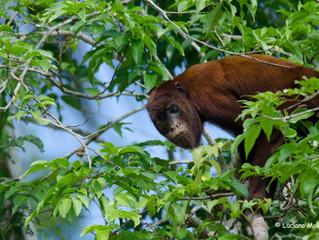 Febre Amarela: Medo e desinformação põe em risco macacos na Mata Atlântica