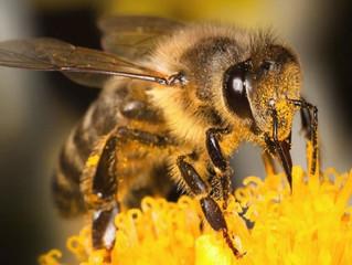 Para limpar imagem, indústria do agrotóxico se une ao Ibama em pesquisa com abelhas