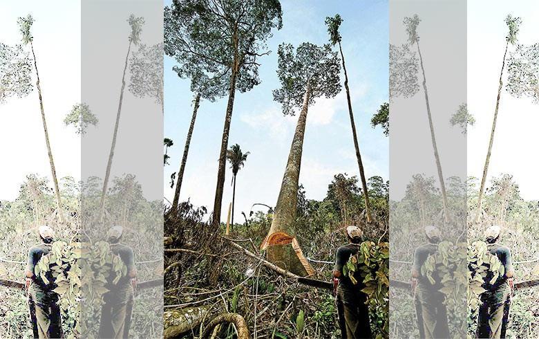 GOLPE NA FLORESTA Jatobá, em extinção, vai ao chão no Pará: governo quer agilizar processos de licenciamento ambiental