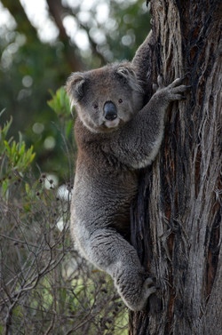 Koala at Stony Creek