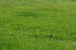 Lush Green Pasture