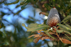 Port Welshpool, Banksia Serrata