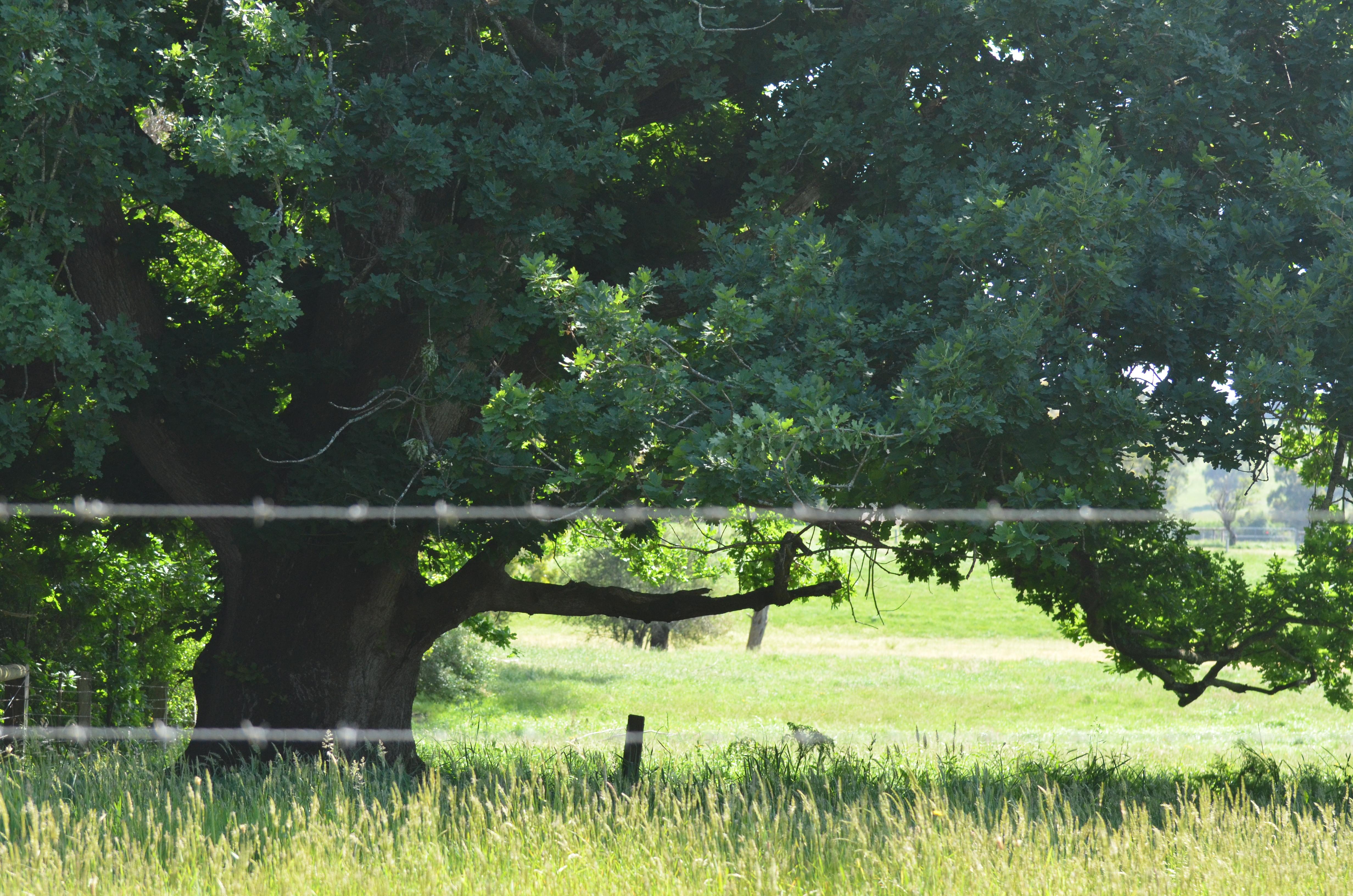 Old Oak at Koonwarra