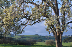 Flowering Pear, Toora