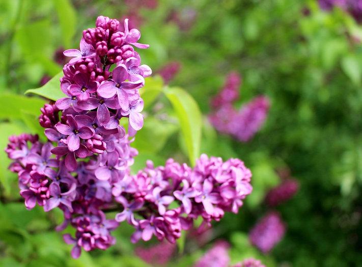 LilacsWithGreenClose_edited.jpg