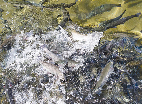 Trout fed with enriched soybean meal outshine counterparts