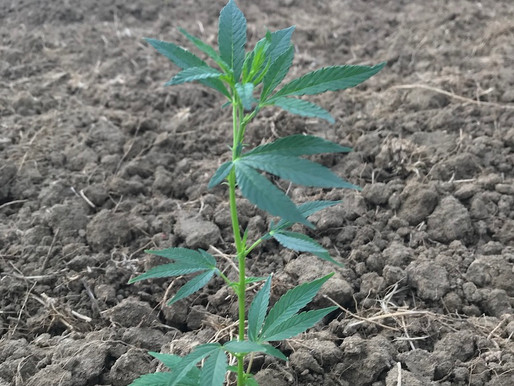 How does hemp grow?