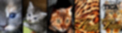 Maine Coon Bengal Cattery Ingolstadt Zucht Züchter