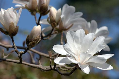 Magnolia-stellata_JFGrossin_moy.jpg