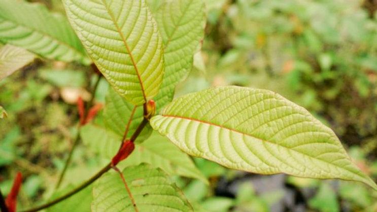 Red Vein Kratom Varieties
