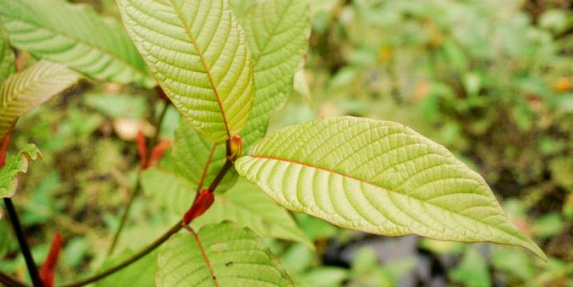 red-vein-indo-696x348_edited.jpg